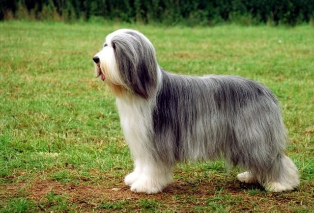 Bearded Collie - Collie Barbudo