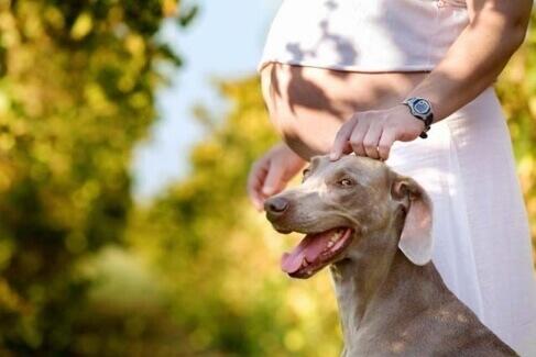 5 Maneiras que os cães descobrem a gravidez da sua dona