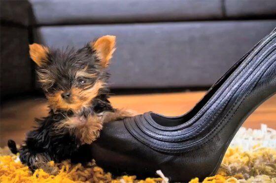 Conheça agora o menor cachorro do mundo
