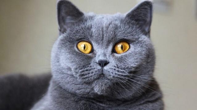 Conheça agora o gato Inglês de Pelo Curto (British Shorthair)
