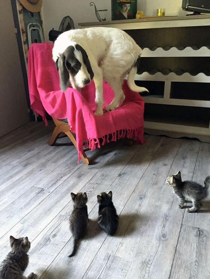 cão em cima de cadeira com medo dos filhotes de gato