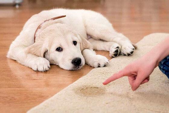 3 Simples passos para ensinar cachorro a fazer xixi e cocô no lugar certo