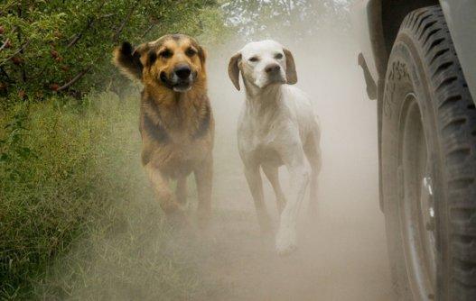 Descubra por que os cães correm atrás de carros e motos