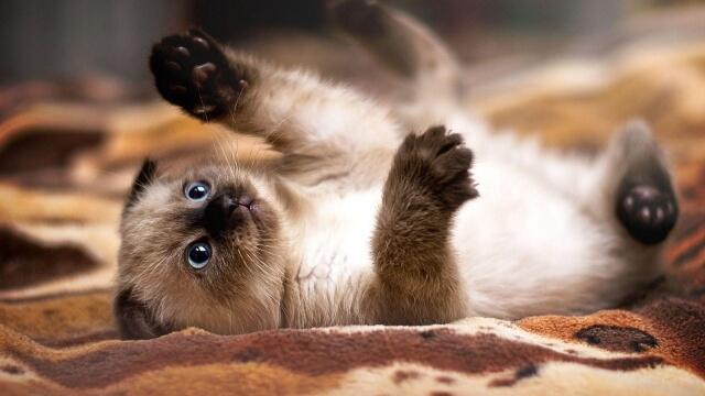 Saiba agora tudo sobre o gato Siamês
