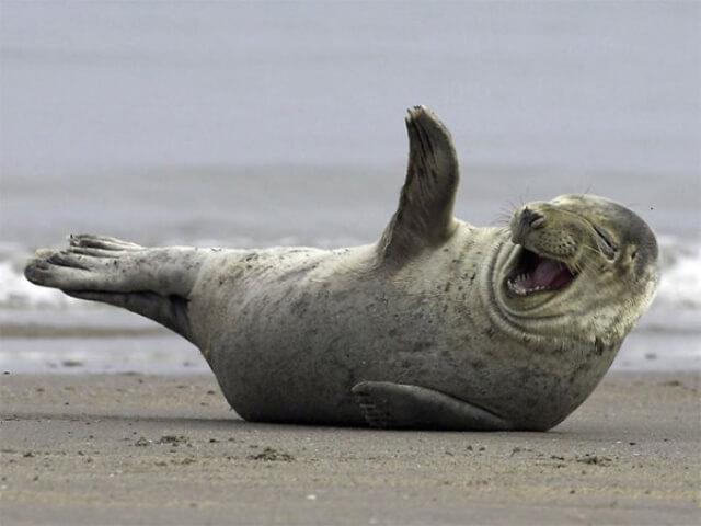 10 fotos divertidas de focas que não conseguem conter o riso
