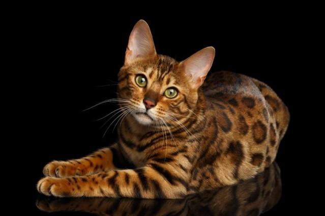Saiba agora tudo sobre a raça de gato Bengal