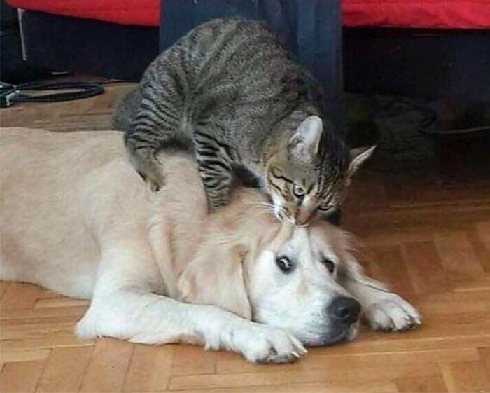 gato mordendo cabeça de cachorro
