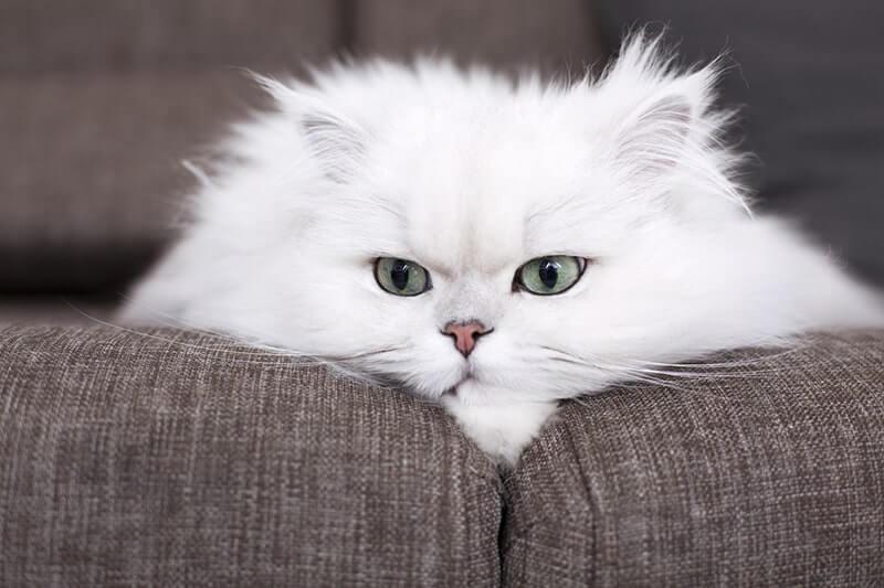 gato persa branco deitado