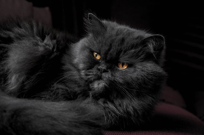 gato persa preto - o maior gato do mundo