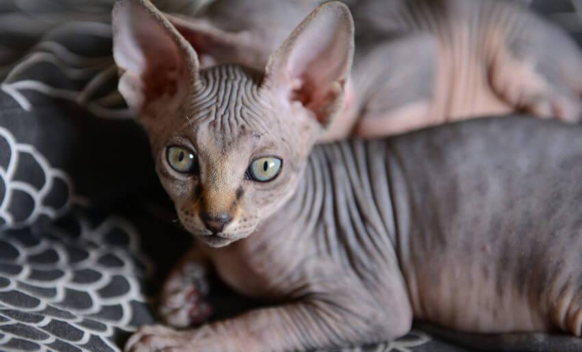 gato peterbald cinza deitado