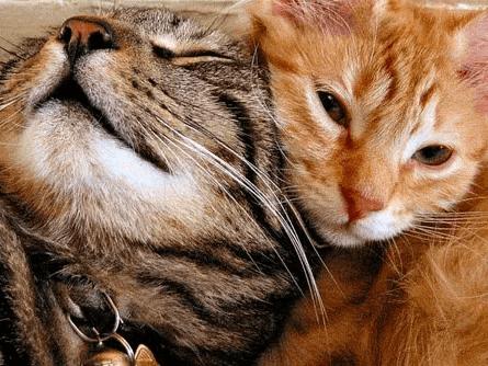 gatos se esfregando um no outro
