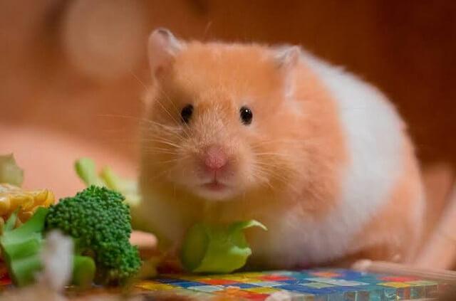 hamster siro animais pequenos de estimação