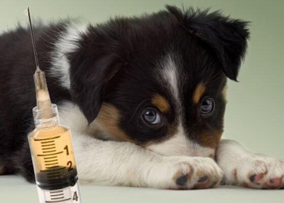 Saiba a partir de que idade você deve vacinar seu cachorro