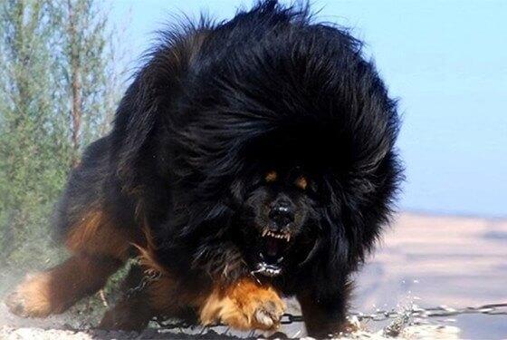 Conheça o cachorro mais caro do mundo
