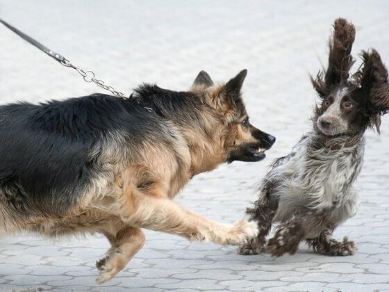 Conheça 3 situações que levam os cães a brigarem