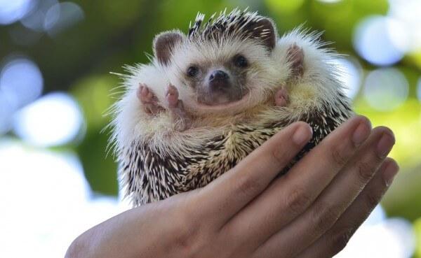 ouriço na palma da mao animais pequenos de estimação