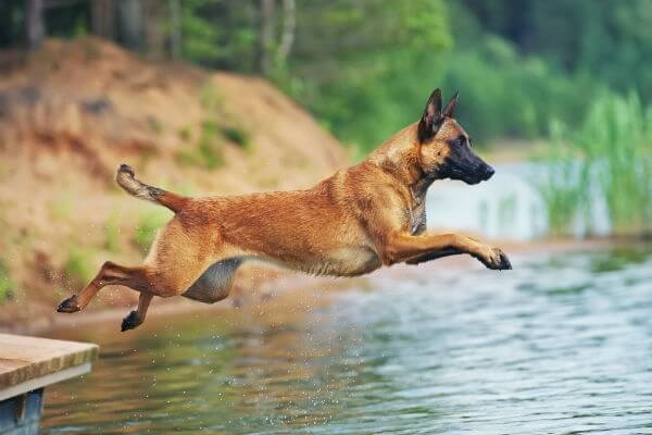 Saiba agora tudo sobre o cachorro Pastor Belga Malinois