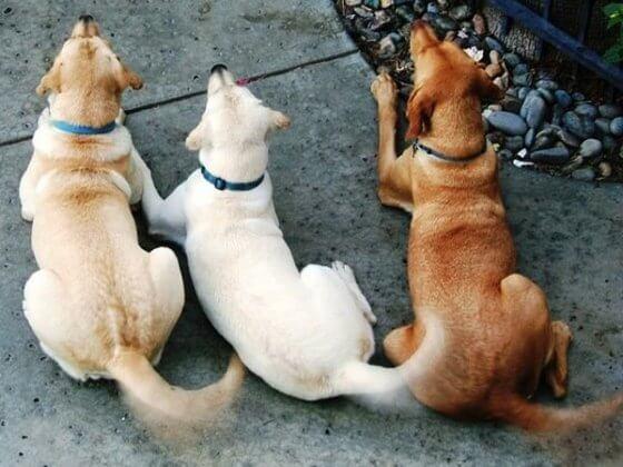 Saiba por que os cães abanam o rabo