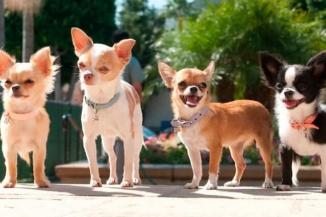 Qual raça de cachorro vive mais?