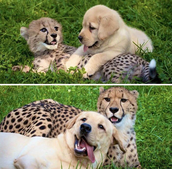 tigre e cachorro
