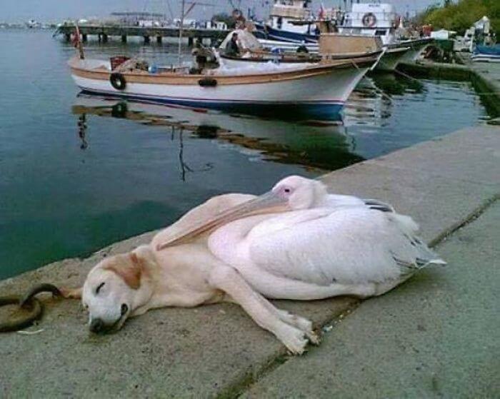 pelicano e cachorro