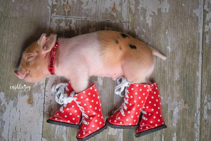 bebe porco de botas
