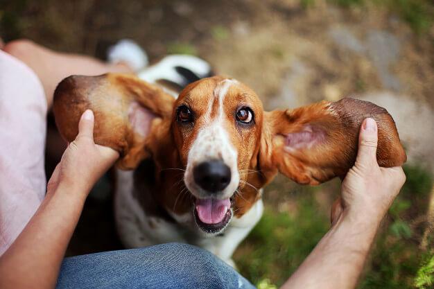 basset hound com humano