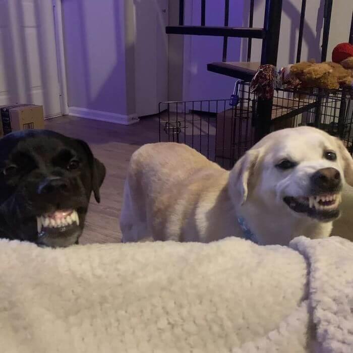 cachorros mostrando os dentes