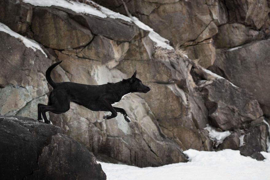 cão preto pulando