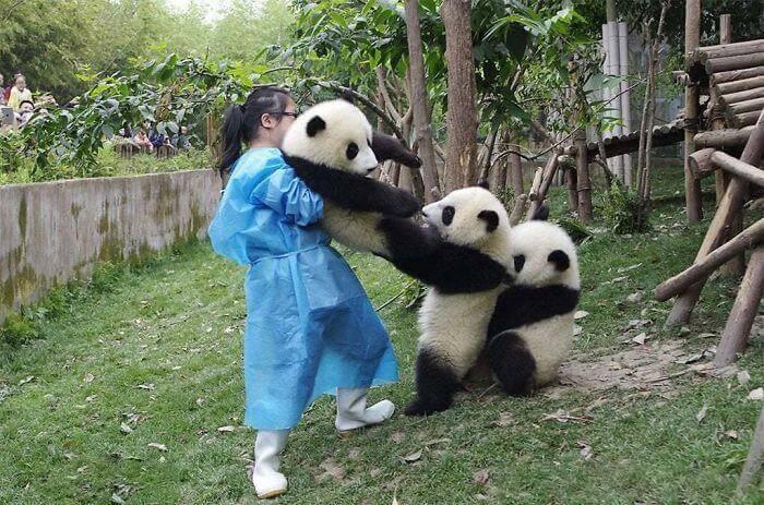 pandas puxando panda do colo