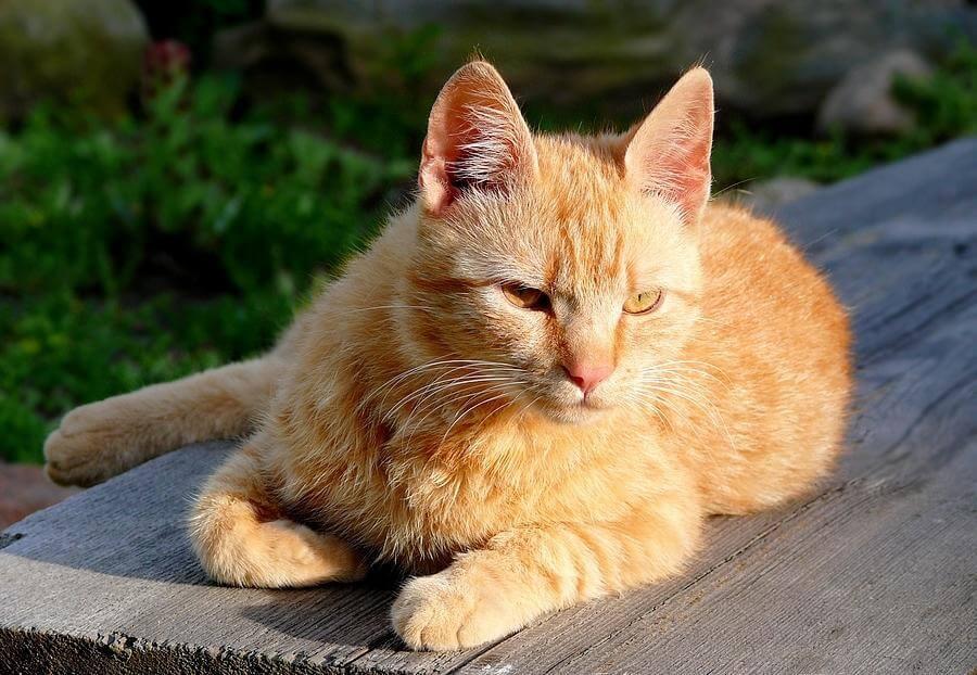 gato brasileito de pelo curto