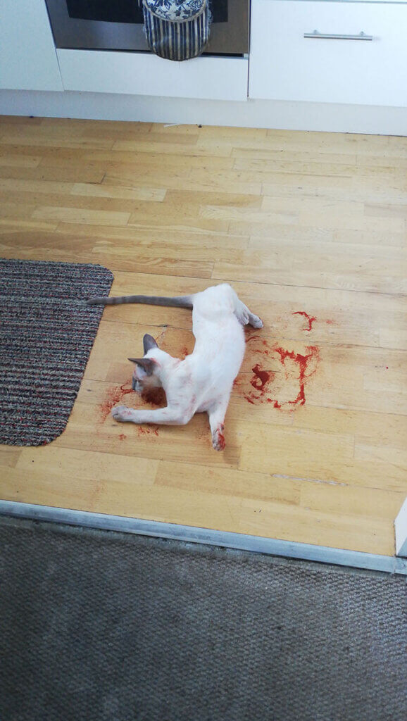 gato sujo parecendo sangue