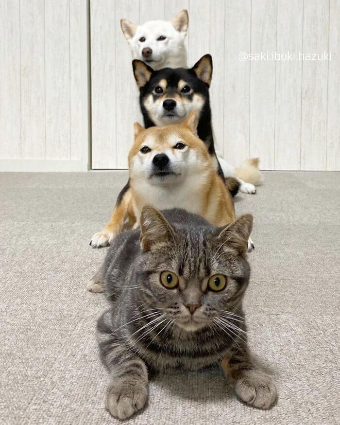 gatinho e três shiba inus