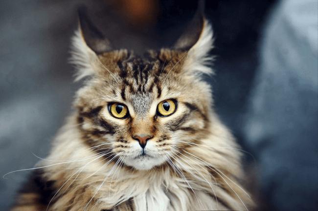 gato gigante observando