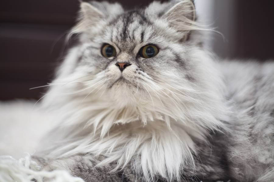 maine coon cinza