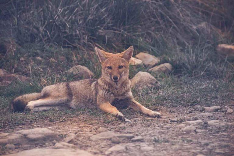 raposa brasileira