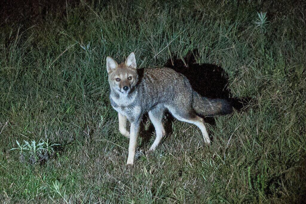 raposa-do-campo