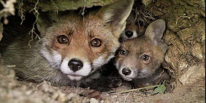raposa-do-campo e filhotes