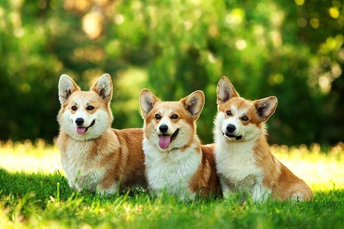 três Welsh Corgi Pembroke sentados no gramado